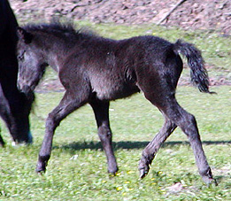 Colt out of Thistle Ridge B.P. Shady Lady